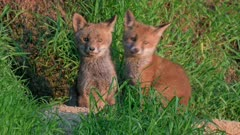 red fox (Vulpes vulpes), two fox puppies in front of their den, Heinsberg, North Rhine-Westphalia, Germany