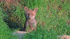 red fox (Vulpes vulpes), fox puppy in front of den, Heinsberg, North Rhine-Westphalia, Germany