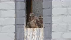 common kestrel (Falco tinnunculus) fledglings in nest at a small window of a house, Heinsberg, North Rhine-Westphalia, Germany