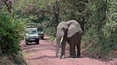 huge male African bush elephant (Loxodonta africana) with tourists in safari cars behind eating, Manyara National Park, Tanzania, Africa