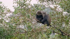 two sleeping blue monkeys or diademed monkey (Cercopithecus mitis) on a branch, Arusha National Park, Tanzania
