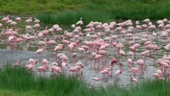 Lesser flamingos (Phoeniconaias minor) cleaning themselves in fresh water, Arusha National Park, Tanzania, Africa