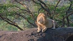 huge male lion on a kopje, Serengeti National Park, UNESCO world heritage site, Tanzania, Africa