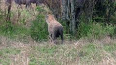 Spotted hyena (Crocuta crocuta) in Serengeti National Park, UNESCO world heritage site, Tanzania, Africa