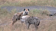 Spotted hyena puppys (Crocuta crocuta) at den in Serengeti National Park, UNESCO world heritage site, Tanzania, Africa
