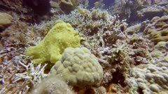 Frogfish (Antennariidae), diving in the colorful coral reef of Cabilao Island, Philippines, Asia