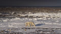 Pan across frozen snowy shoreline with rocky tidal flats stretching to open ocean.  Pan reveals polar bear laying on the shore.  Bear rolls onto his back and rubs on snow then gets up and leaves frame.  Wide.