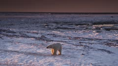 Wide shot of lone polar bear walking towards camera as golden sunset light hits a icy&snowy shoreline.