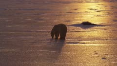 Backlit polar bear walks across icy landscape at sunset.  Brilliant golden light falls on the ice and rims the bear .  Med-Wide.