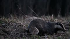 European badger (Meles meles) brings new hay in den