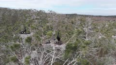 Great cormorant (Phalacrocorax carbo) colony on treetops