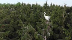 Great egret reacts to drone in colony