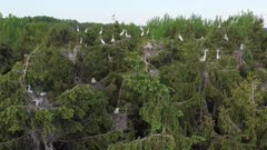 Grey heron and Great egret mixed colony on treetops