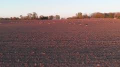 Bean Goose on freshly sown wheat field