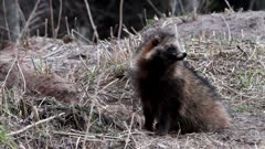 Raccoon Dog pair (Nyctereutes procyonoides) at the entrance of underground den