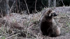 Raccoon Dog (Nyctereutes procyonoides) at the entrance of underground den