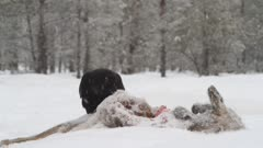 Ravens feeding on dead roe deer in snow
