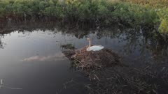 Whooper swan pair at nest