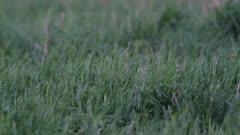 great snipe (Gallinago media) lekking rituals