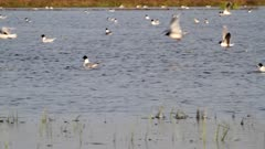 Little gulls feeding on flooded area