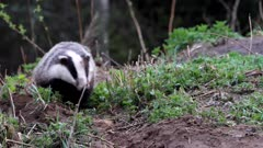 European badger (meles meles) near its underground den
