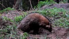 Raccoon dog (Nyctereutes procyonoides) coming out from badgers underground den