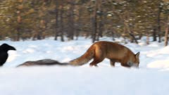 Red fox searching for food in snow