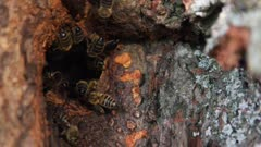 Honey bees (European dark bee) in natural beehive (in small-leaved linden hollow)