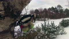Time Lapse with Great Spotted Woodpecker - Dendrocopos major
