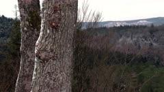 Snowy oak trunks