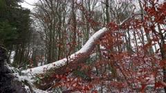 Fallen snowy tree
