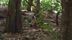 Capuchin monkey is sitting on the forest looking around