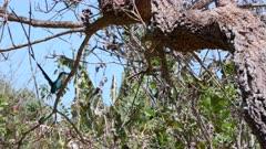 Momotus momoto moving around on a branch
