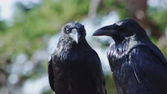 Ravens, Socializing and Grooming
