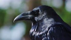 Lone Raven Closeup