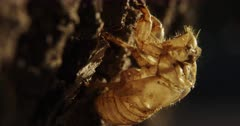 Cicada Exoskeleton, Skin, Shell, moves thru shadowy pools of light as it clings to the bark of host tree after molting.  #15