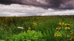 Field of Oxeye Sunflowers in a Tall Grass Prairie with Atmospheric Storm Clouds