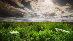 Dramatic Summer Sky above a Field of Rich Green Tall Prairie Grass with Oxeye Sunflowers