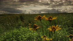 An Idyllic Field of Oxeye Sunflowers in a Tall Grass Prairie with Atmospheric Storm Clouds