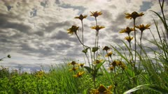 Oxeye Sunflowers Sway Gently in a Tall Grass Prairie with Atmospheric Clouds