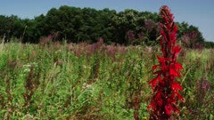 Iowa Tall Grass Prairie with Vivid Red Cardinal Flower and Blue Vervain