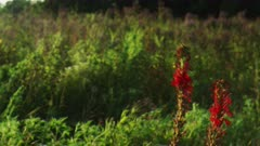 Vivid Red Cardinal Flower Sways Gracefully in a Prairie of Tall Grass