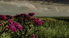 Western Ironweed and Sideoats Grama in a Wind Swept Kansas Tall Grass Prairie under Summer Storm Clouds
