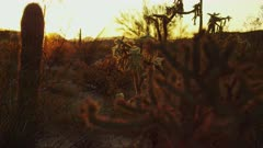 Buckhorn Cholla and Saguaro Cactus are Painted with Vibrant Desert Glow of the Setting Sun. With a Rack Focus from Foreground to Background