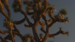 Waxing crescent moon framed by the branches of an ancient Joshua Tree in the Mojave Desert National Preserve