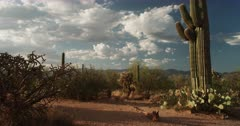 Clustered Saguaro Cacti / Cactus stand majestic during magic hour with billowing clouds floating by.  Undercranked.