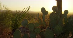 Prickly Pear cactus backlit by the setting sun sway gently in the wind with a rich variety of saguaro Sonoran Desert succulents and flora. A scattering of desert homes and dwellings in the distance.