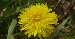 A common Hover Fly, or Flower Fly, pollinates a dandelion in the Flint Hills of Kansas