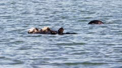 California Sea Otters feeding and resting