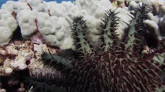 Hawaii Island - Crown-of-thorns starfish (Acanthaster planci)